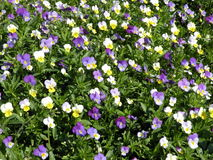 Pansy flowers pattern Royalty Free Stock Image