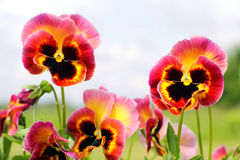 Pansy flowers pink yellow black closeup Stock Photo