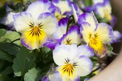 Pansy flowers. In purple, blue, yellow, white Stock Photo