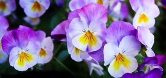 Pansy, Flowers, Purple, Nature Royalty Free Stock Photography