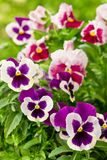 Pansy flowers in purple and red Royalty Free Stock Images
