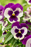 Pansy-flowers in purple and white. Two big flowers of garden pansies in purple and white color stock photography