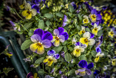 Pansy Flowers. Purple and yellow pansy flowers Stock Photo