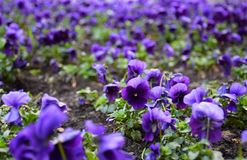 Pansy flowers in rich color. Popular cultivated viola with flowers in rich colors Stock Photos