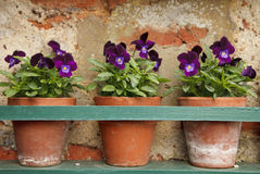 Pansy flowers in three old terracotta pots Royalty Free Stock Image