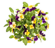 Pansy flowers top view white background spring viola Stock Photo