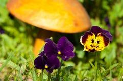 Pansy Flowers un alto cultivé populaire avec des fleurs dans c riche photos stock