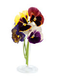 Pansy flowers in vase, over white Stock Photography
