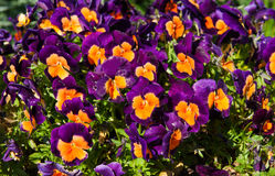 Pansy flowers Viola tricolor in garden Royalty Free Stock Photography