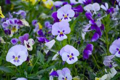 Pansy Flowers vivid blue, yellow spring colors against a lush green background. stock photo