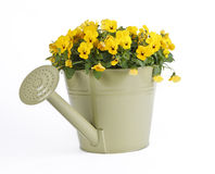 Pansy Flowers and Watering Can Stock Image