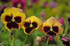 Pansy flowers Stock Photography