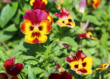 Pansy flowers in yellow and red Royalty Free Stock Image