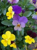 Pansy flowers yellow violet red Stock Images
