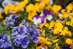 Pansy Garden Royalty Free Stock Photos