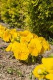 Pansy (garden pansy, Viola tricolor var. Hortensis, Viola ×wittrockiana Gams). Pansy (garden pansy, Viola tricolor var. Hortensis, Viola ×wittrockiana Stock Photo