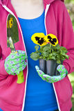 Pansy Gardener Stock Images