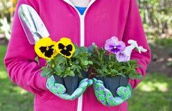 Pansy Gardener Royalty Free Stock Photography