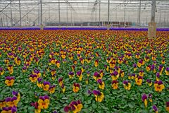 Pansy in greenhouse Royalty Free Stock Photos