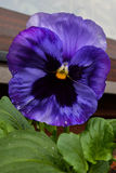 Pansy. Growing in a small group in a garden Royalty Free Stock Photos