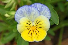 Pansy i ljus blått och guling royaltyfria foton