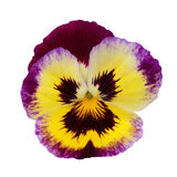 Pansy. Isolated on a white background with clipping path Stock Photo