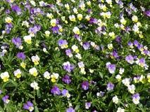 Pansy kwiatów wzór Obraz Royalty Free