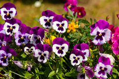 Pansy kwiat Obrazy Royalty Free