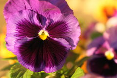 Pansy kwiat zdjęcie stock