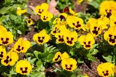pansy, kwiatu łóżka kwiat w ogródzie zdjęcie stock
