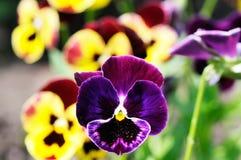 Pansy kwiaty Fotografia Royalty Free