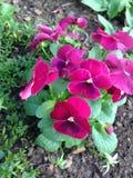 Pansy kwiaty Zdjęcie Stock