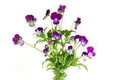 Pansy kwiaty Obrazy Royalty Free