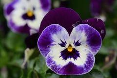Pansy kwiaty zdjęcie royalty free