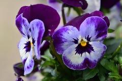 Pansy kwiaty obraz stock