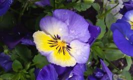 Pansy kwitnie altówkę tricolor w wiosna czasie Zdjęcie Stock