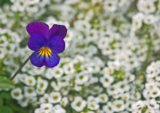 Pansy among little white flowers Stock Photos