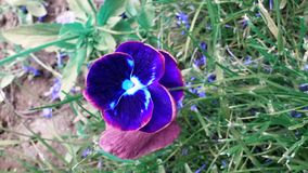 Pansy in a lovely green garden Royalty Free Stock Photos