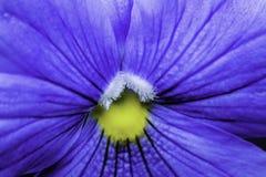 Pansy Macro Photograph blu e gialla Immagine Stock