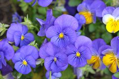 Pansy. Mix colorful pansy flowers in garden on daytime Royalty Free Stock Photo