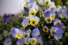 Pansy in Moscow Summer. Stock Photo