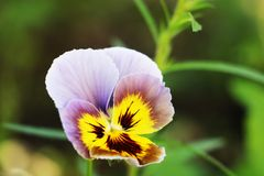 Pansy Multicolored Pansies Background Purple imagens de stock
