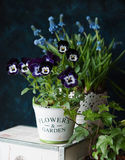 Pansy and muscari. Beautiful pansy flowers and muscari in a pot on the table. Viola cornuta Royalty Free Stock Photos
