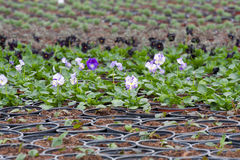Pansy nursery pots Stock Images