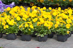 Pansy nursery pots Stock Photos