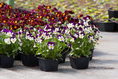 Pansy nursery pots Royalty Free Stock Photo