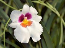 Pansy Orchid blanca Fotografía de archivo