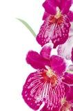 Pansy Orchid - Miltonia gesetzlos stockbild