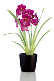 Pansy Orchid - Miltonia Lawless. Beautiful Pansy Orchid - Miltonia Lawless Falls  flowers in a dark flowerpot on white background Royalty Free Stock Photos