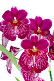 Pansy Orchid - Miltonia Lawless. Closeup of beautiful Pansy Orchid - Miltonia Lawless Falls  flowers Royalty Free Stock Photography